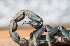 Stinger de scorpion images libres de droits