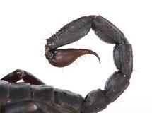 Stinger do escorpião imagens de stock royalty free