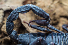 The stinger of a scorpion Royalty Free Stock Photo