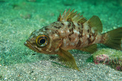Stingfish japonais Photo stock