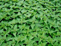 Stinging aka common nettles, Urtica dioica Royalty Free Stock Photos