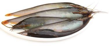 Stinging Catfish of Southeast Asia Stock Photography
