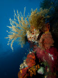 Stinging hydroids on USAT Liberty. The United States Army Transport ship Liberty is festooned with colourful sponges, soft and hard corals, tunicates and all royalty free stock images