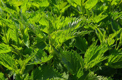 Stinging nettle 01 Royalty Free Stock Images