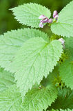 Stinging nettle Royalty Free Stock Image