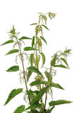 Stinging nettle. In front of a white studio background stock images