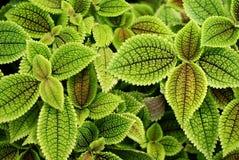Stinging_nettle. Green stinging-nettle in botanical garden in poland Royalty Free Stock Photo