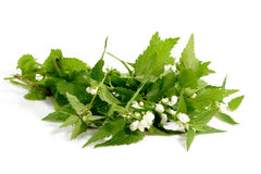 Stinging Nettle Stock Photography