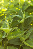 Stinging nettle Royalty Free Stock Photography
