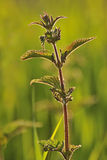 Stinging Nettle, backlit (Urtica dioica) Stock Photo
