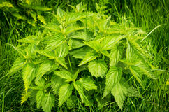 Stinging nettle. Beautiful spring wild nettle plants suitable for salad Royalty Free Stock Photography