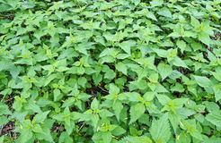 Stinging nettle field Stock Images