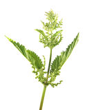 Stinging nettle with flowers and green leaves isolated on white background. Medicinal plant Stock Photos