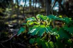 Stinging Nettle in Forest, England, UK royalty free stock images