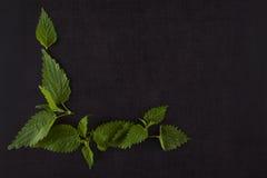 Stinging nettle. Stock Photo