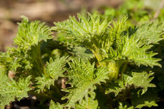Stinging Nettle Herba green Royalty Free Stock Photos
