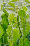 Stinging nettle hoarfrost Royalty Free Stock Images
