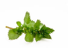 Stinging nettle isolated Stock Image