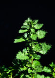 Stinging nettle isolated on black Royalty Free Stock Images