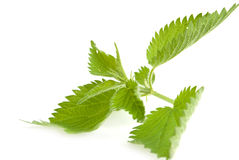 Stinging nettle Royalty Free Stock Photos