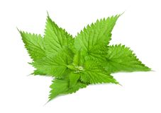 Fresh Stinging nettle. Stinging nettle isolated on white background royalty free stock photos