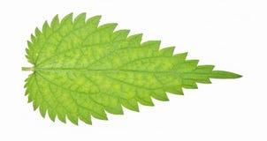Stinging nettle leaf. Single stinging nettle leave on plain white background royalty free stock photography