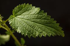 Stinging nettle leaf. Closeup of stinging or common nettle Urtica dioica leaf growing on nettle twig over dark background stock image