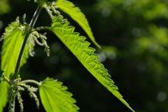 Stinging Nettle, Leaves Stock Photography