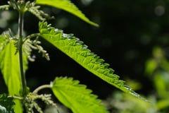Stinging Nettle, Leaves Royalty Free Stock Image