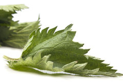 Stinging nettle leaves Royalty Free Stock Photography