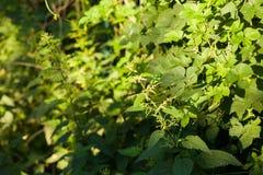 Stinging nettle plant Royalty Free Stock Images