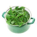 Stinging nettle in pot Stock Image