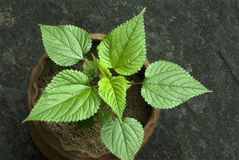 Stinging nettle in potted plant- Urtica dioica-leaves Stock Photos