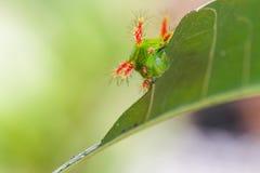 Stinging Nettle Slug Caterpillar of moth Royalty Free Stock Images