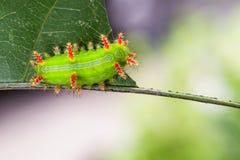 Stinging Nettle Slug Caterpillar of moth Stock Photos