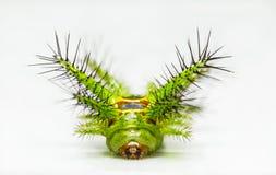 Stinging nettle slug caterpillar of phocoderma velutina moth Royalty Free Stock Image