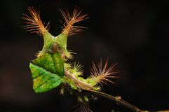 Stinging Nettle Slug Caterpillar. A stinging nettle slug caterpillar like this one generally bears warning colouration and stinging hairs. These hairs can inject stock images