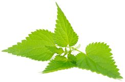 Stinging Nettle (Urtica Dioica). On White Background royalty free stock photo