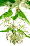 Stinging Nettle (Urtica Dioica) Stock Photos