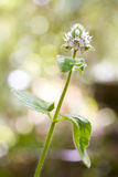 Stinging Nettle, Urtica Dioica Stock Photo