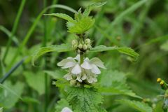 Stinging nettle urtica dioica. Close up of a stinging nettle urtica dioica plant in blossom royalty free stock photo