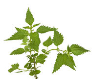 Stinging nettle. Urtica dioica, isolated royalty free stock image