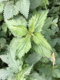 Stinging nettle. Urtica dioica, often called common nettle or stinging nettle (although not all plants of this species sting), is a herbaceous perennial royalty free stock photo