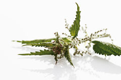 Stinging nettle on white background,close-up royalty free stock photo