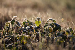 A stinging nettle in winter time. A frozen plant in morning light Stock Photography