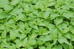 Stinging nettles. Green background of the stinging nettles royalty free stock photos