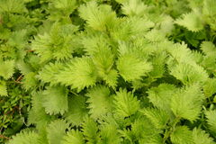 Stinging nettles. Close up stinging green nettles Stock Images
