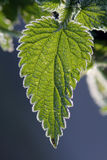 Stinging Nettles. Frozen ice crystals on green stinging nettles stock images