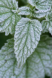 Stinging Nettles Royalty Free Stock Image