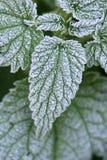 Stinging Nettles. Frozen ice crystals on green stinging nettles royalty free stock image